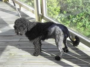 Bubblan som portugisisk vattenhund :-)