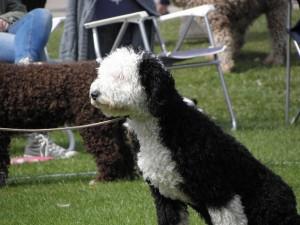 En härligt färgsatt hund följde intresserat med vad som hände i ringen.